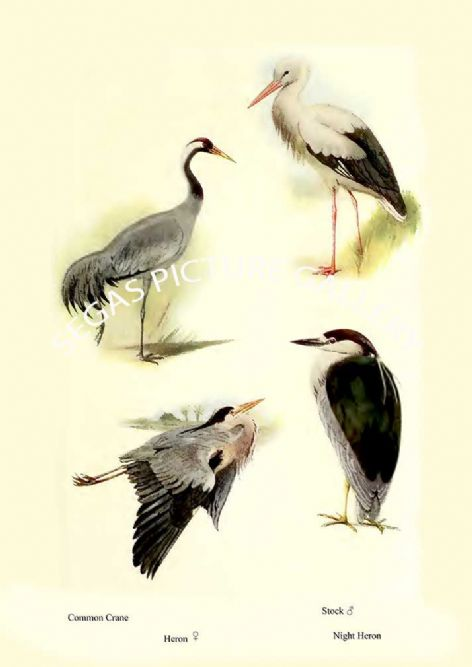 Fine art print of the Common Crane, Heron, Stock & Night Heron by William Foster (1922)